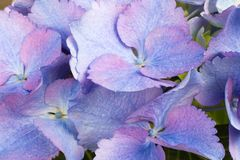 Fin de fond de fleur d'hortensia  Image libre de droits