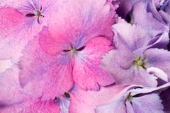 Fin de fond de fleur d'hortensia  Photo libre de droits