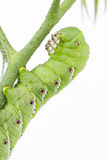 Fin de hornworm de tabac  Photo stock