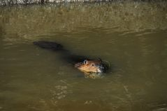 Fin de l'Alaska d'une natation de castor avec l'herbe dans la bouche photos stock