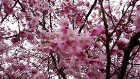 fin de la vidéo 4k des fleurs de cerisier de ressort avec les fleurs roses vent et branches banque de vidéos