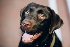 Fin de Labrador de chocolat vers le haut de tête Photo stock