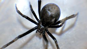 Fin de macro de veuve noire vers le haut des araignées rampantes photographie stock