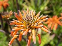 Fin de maculata d'aloès vers le haut d'image Photographie stock libre de droits