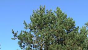Fin de montagne de branches de pin vers le haut du balancement dans le vent banque de vidéos