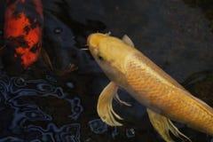 Fin de natation de poissons de Koi  Photographie stock