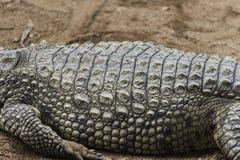 Fin de peau de crocodile vers le haut de texture Photos libres de droits
