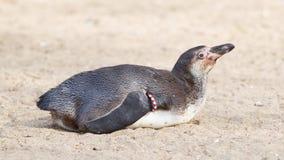 Fin de pingouin de Humboldt vers le haut photo stock