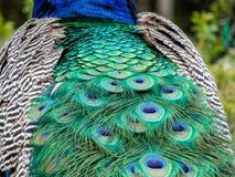 Fin de plumage de paon  image libre de droits