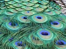 Fin de plumage de paon  images libres de droits