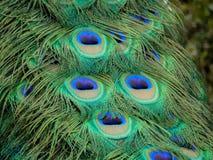 Fin de plumage de paon  photos stock