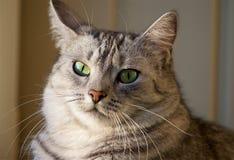 Fin de portrait de chat Fin grise étonnante gentille de chat  Chat ayant le repos sur la fin de portrait de bedCat  Fin grise éto Image libre de droits