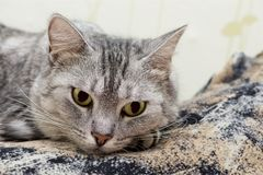Fin de portrait de chat Fin grise étonnante gentille de chat  Chat ayant le repos sur le lit Photos stock