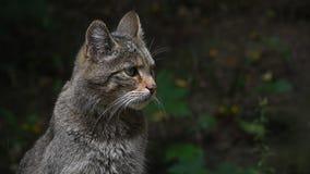 Fin de portrait de chat sauvage européen  clips vidéos
