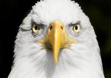 Fin de portrait d'aigle chauve avec le foyer sur des yeux Images libres de droits