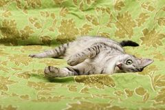 Fin de portrait de chat, chat se reposant dans le lit et semblant jeune chat gauche et domestique à l'arrière-plan vert avec l'es Photographie stock
