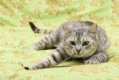 Fin de portrait de chat, chat semblant chat droit et fâché, jeune chat domestique à l'arrière-plan vert avec l'espace pour faire  Photos libres de droits