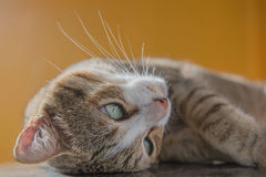 Fin de portrait de chat, chaton mignon Photographie stock