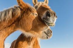 Fin de portrait de deux chevaux dans l'amour, amour de cheval, cheval belge de Bohème-Moravian dans le jour ensoleillé République images stock