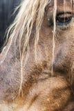 Fin de portrait de tête de cheval de Brown  photographie stock libre de droits