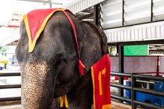 Fin de portrait vers le haut d'éléphant dans le zoo photographie stock libre de droits