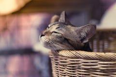 Fin de portrait vers le haut de petit fond brun de Cat Sleeping In Basket images libres de droits