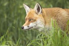 Fin de portrait de visage de Fox  image libre de droits