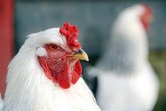Fin de poulet Photos libres de droits