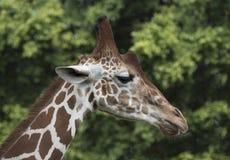 Fin de profil de girafe  Photo stock