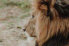 Fin de profil vers le haut de tir du lion masculin photographie stock libre de droits