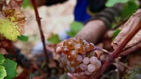 Fin de récolte de raisin vers le haut des mains banque de vidéos