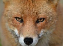 Fin de renard rouge vers le haut images stock