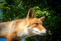 Fin de renard rouge vers le haut Photo libre de droits