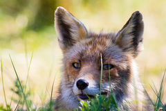 Fin de renard rouge vers le haut Photographie stock libre de droits
