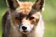 Fin de renard rouge vers le haut Photos libres de droits