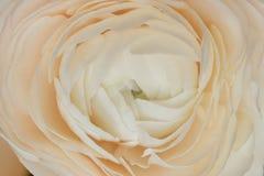 Fin de renoncule de bourgeon, macro Fond des fleurs, texture du ranunculus photographie stock libre de droits