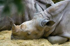 Fin de rhinocéros blanc vers le haut de la vue de la tête et de deux klaxons Image libre de droits