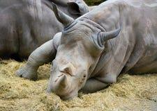 Fin de rhinocéros blanc vers le haut de la vue de la tête et de deux klaxons Image stock