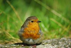 Fin de Robin vers le haut Image stock