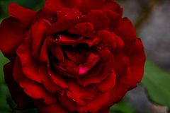 Fin de rose d'écarlate vers le haut photo stock