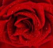 Fin de rose de rouge vers le haut photos libres de droits