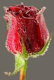 Fin de rose de rouge vers le haut Image libre de droits