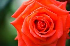 Fin de rose de rouge vers le haut Photo libre de droits