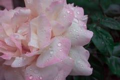 Fin de rose de rose et de blanc  photographie stock libre de droits
