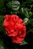 Fin de Rose Hibiscus rosa-sinensis dans l'entourage de feuille Photographie stock