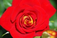 Fin de rose de rouge vers le haut Photographie stock libre de droits