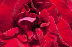 Fin de Rose vers le haut Photos libres de droits