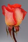 Fin de Rose vers le haut avec la rosée photo stock