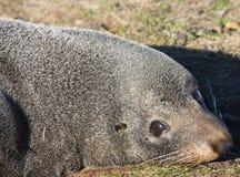 Fin de sceau de fourrure de la Nouvelle Zélande vers le haut. Photo libre de droits