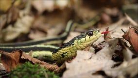 Fin de serpent de jarretière effleurant la langue clips vidéos